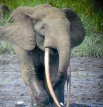 Elephant Crisis Fund: Protecting Forest Elephants In Ivindo