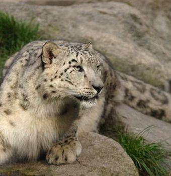 Taking Technology Out in the Cold: Working to Conserve Snow Leopards