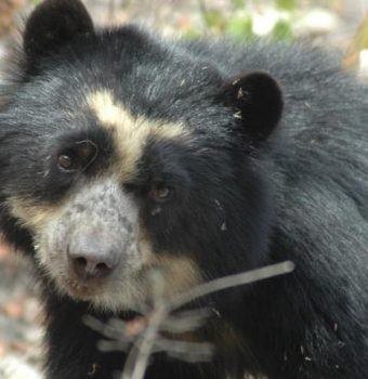 From Fires to Floods: Spectacled Bear Conservation is Rebuilding After Back-to-Back Natural Disasters