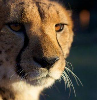 CITES Pushes for Further Cheetah Protection Against Pet Trade
