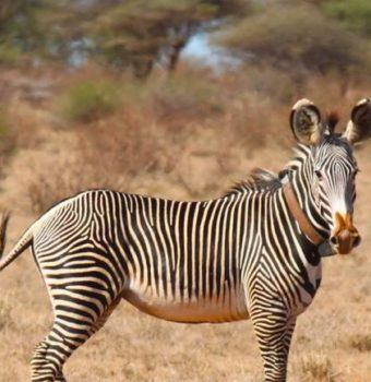 Great Grevy's Rally Uses Citizen Scientists to Count Population