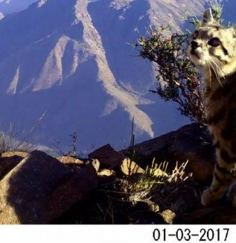 Wildlife on Camera- Andean Cats