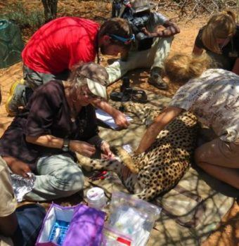 Celebrating a Quarter Century of Cheetah Conservation