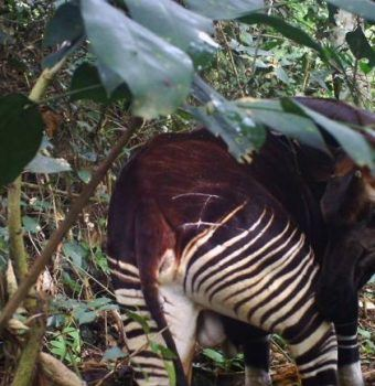 Wildlife on Camera- Okapis