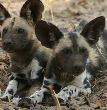 Finding Answers for Painted Dog Conservation with Genetics