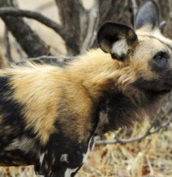 "Local Community Protects ""Their"" Painted Dogs"