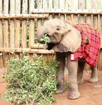 Sokotei the Orphaned Elephant Is Now Thriving