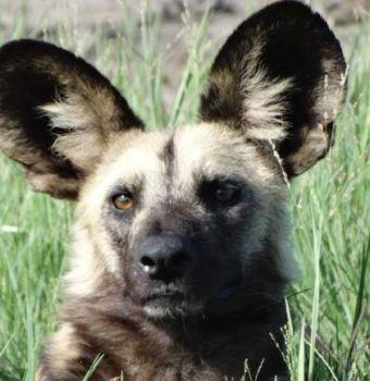 How to Rescue a Snared Painted Dog
