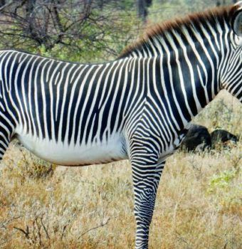 Citizen Scientists Count the Zebra with a Bar Code