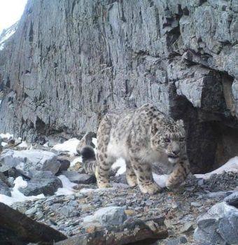 Wildlife on Camera—Snow Leopards