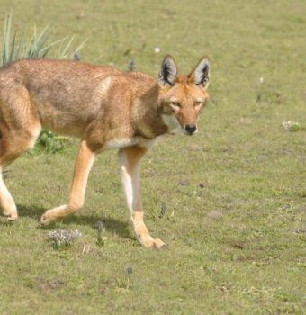 Fuel-Saving Stoves Help Save Ethiopian Wolves and Our Planet
