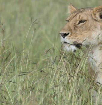 Lions are the most sought-after animals drawing people to Africa, protect them
