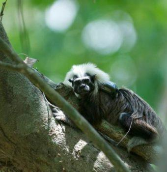 Building Trust with Cotton-Top Tamarins