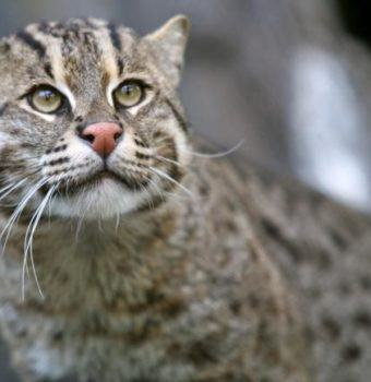 New Protections for Fishing Cats in India