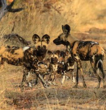 On the Cusp of a Brighter Future for Painted Dogs