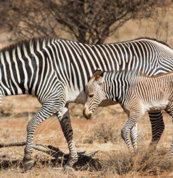 Every Grevy's Zebra Counts