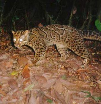 Wildlife on Camera- Marbled Cats