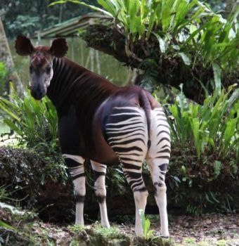 Recovery Continues Around the Okapi Wildlife Reserve