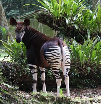 Okapi Added to IUCN's Endangered Species List