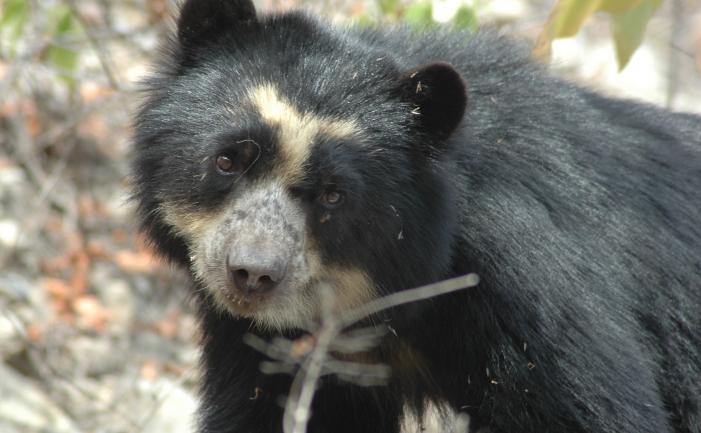 Photo-Sbcperu-Wild-female-spectacled-bear-laura-Dry-Forest-Peru