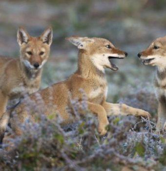 Ethiopian Wolves Thrive a Year After Rabies Outbreak
