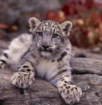 Snow Leopards: An Iconic Species in Need of Your Help