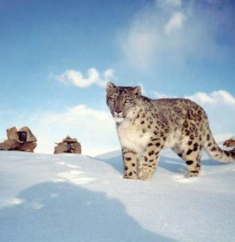 A Status Update for Snow Leopards is a Call for Cautious Celebration