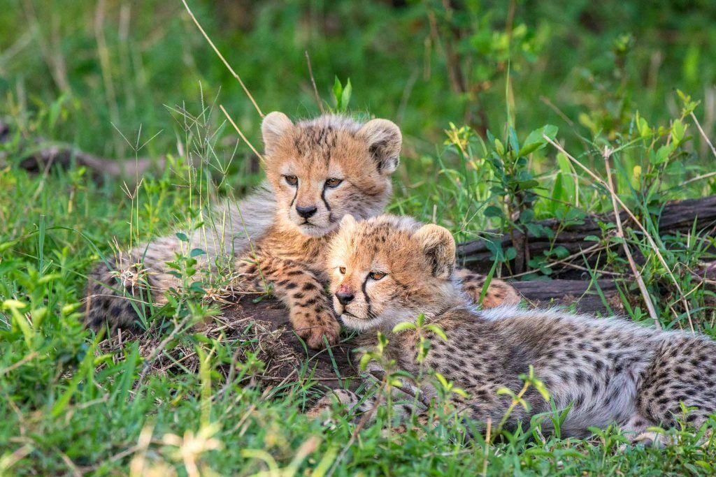 Steve Mandel baby cheetahs