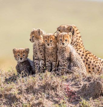 Botswana: A Critical Stronghold for Cheetahs