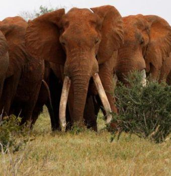 Defending Some of the World's Last Great Tuskers