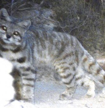 Finding the Andean Cat
