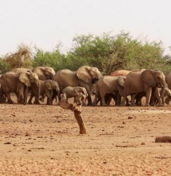 Mali's Desert Elephants, on Edge of Annihilation, Get a Fighting Chance - New York Times