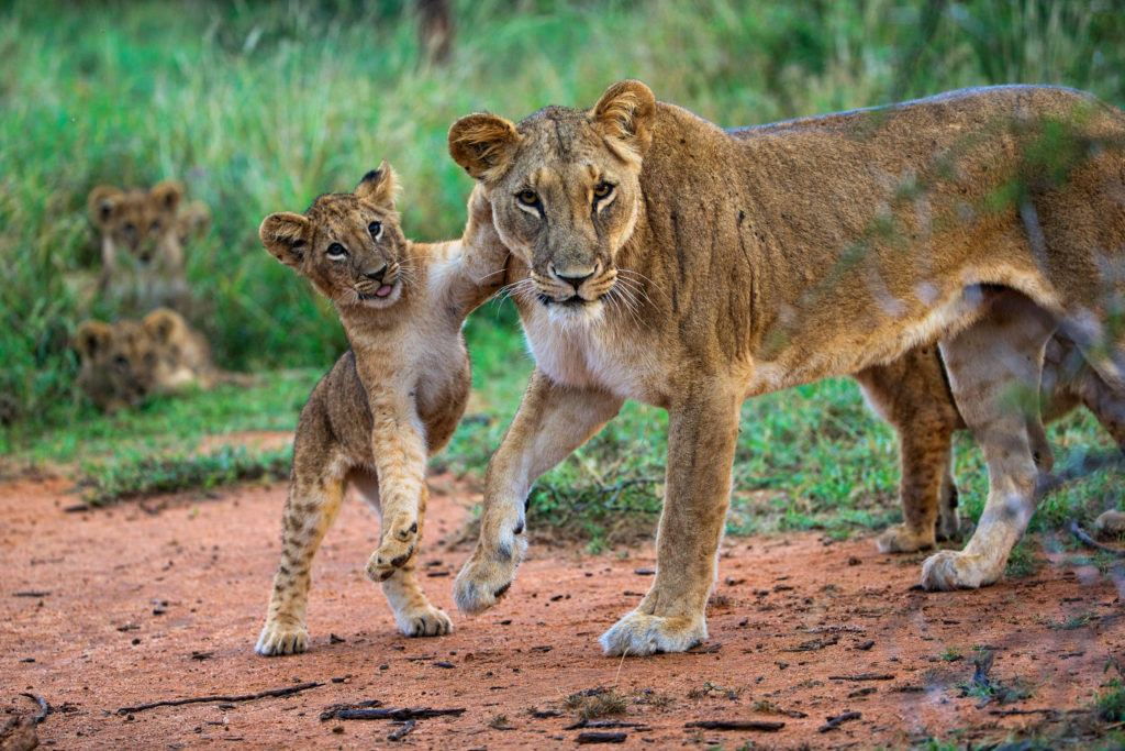 lion with cub_Susan McConnell (8)
