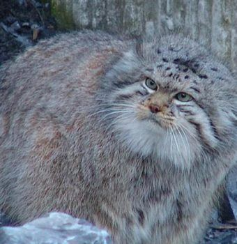 Pallas's Cat Found for the First Time in Nepal