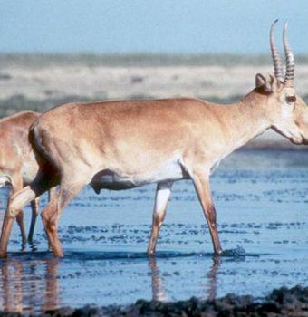 Saiga Success: Population in Kazakhstan Doubles in Five Years
