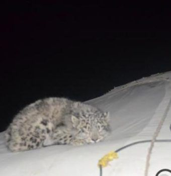 Snow Leopard on the Roof