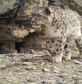 Three New Snow Leopard Subspecies Discovered