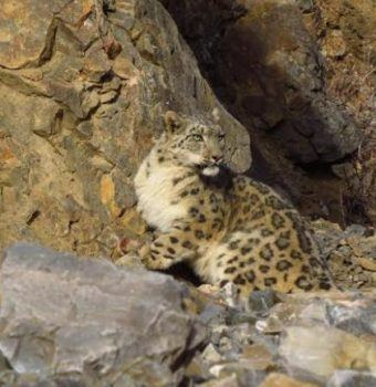 Snow Leopard Collared in Mongolia