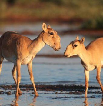 Saigas Begin to Recover From Crisis
