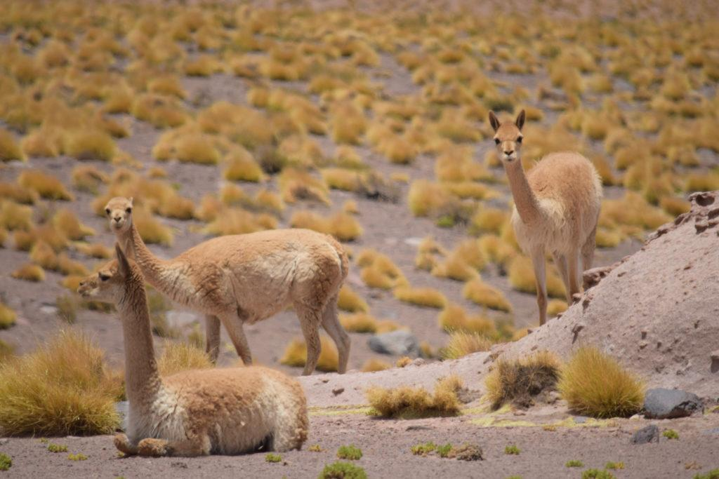 Chile_Andean Cat Trip 2016 - guanacos