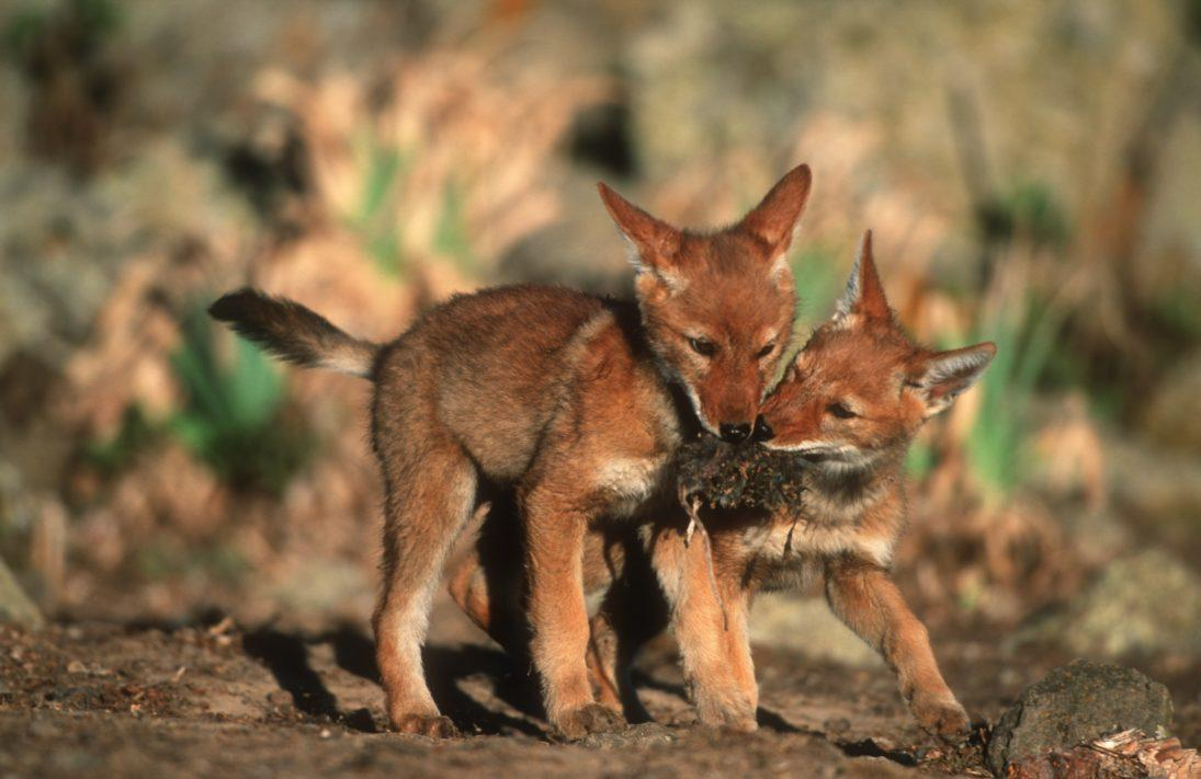 Ethiopian Wolf pups_Martin Harvey 1
