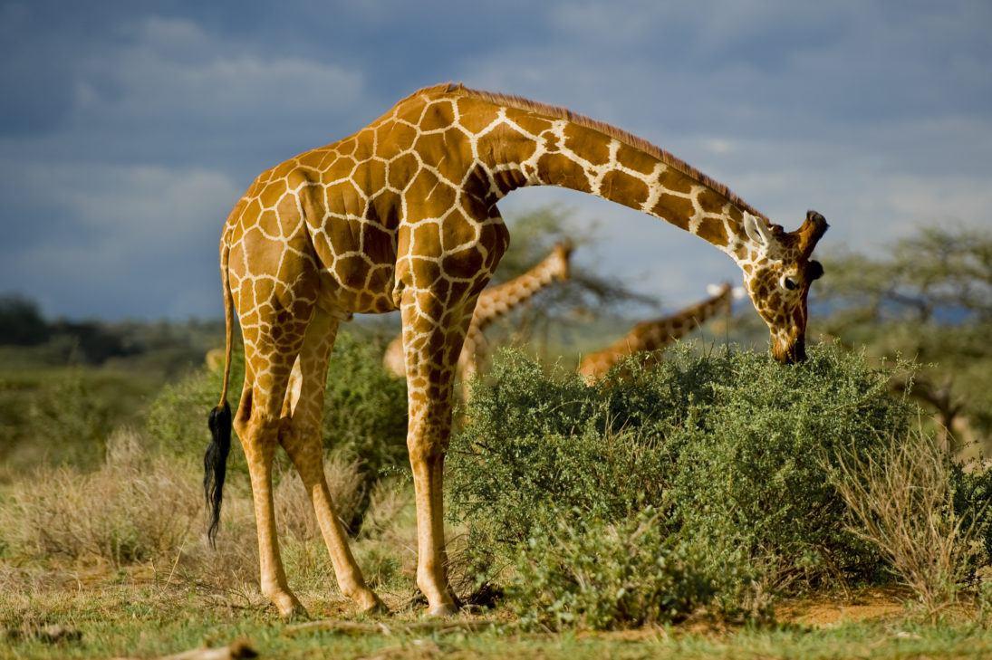 Frank af Petersens-giraffe