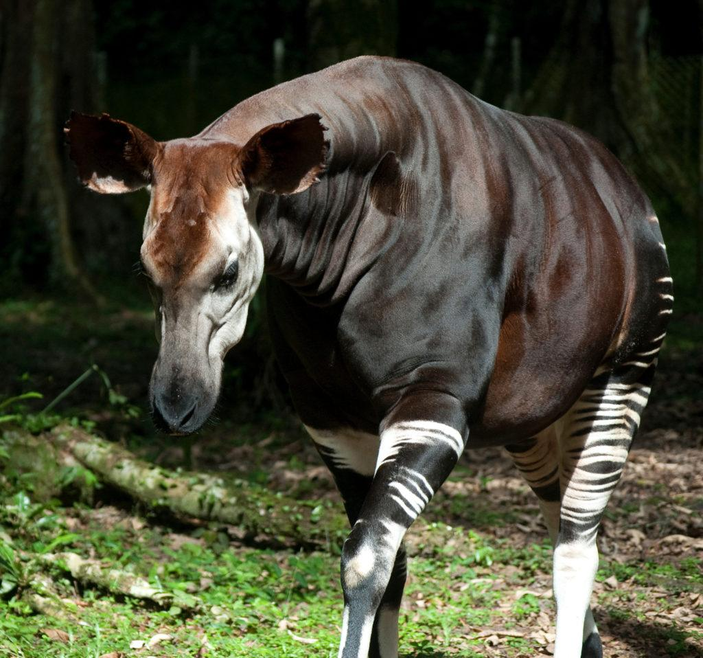 Okapi at Epulu breding center