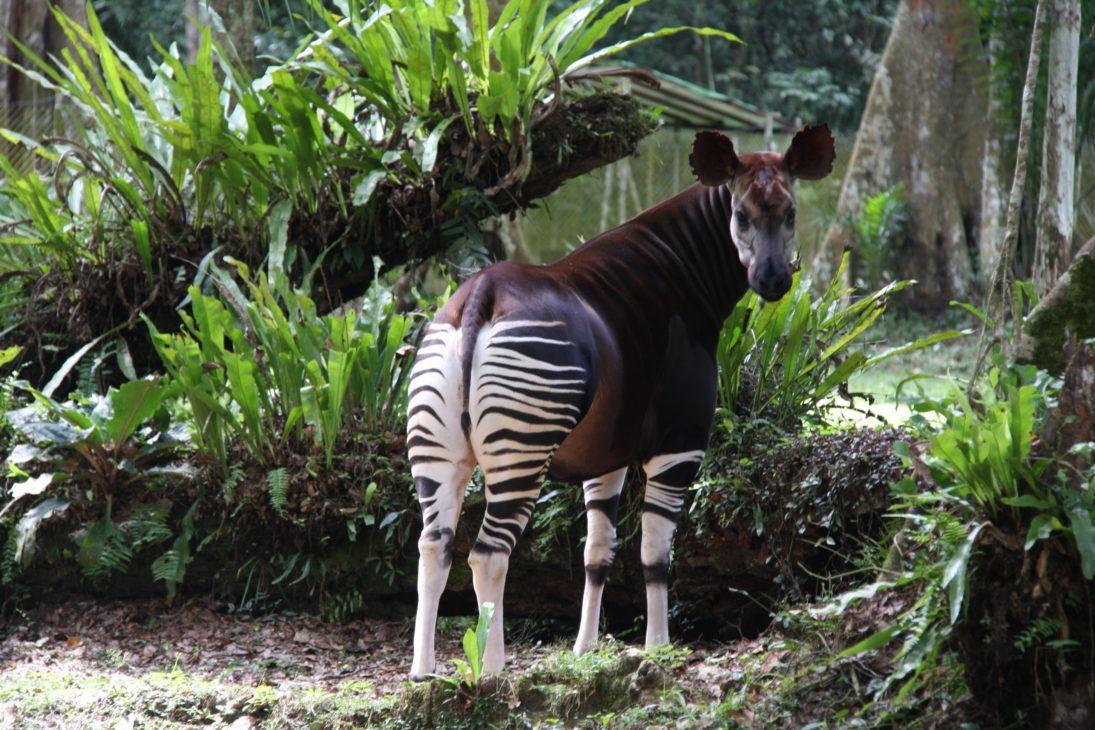 Okapi_OCP