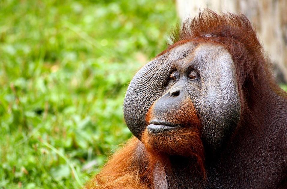 Orangutan_no credit needed