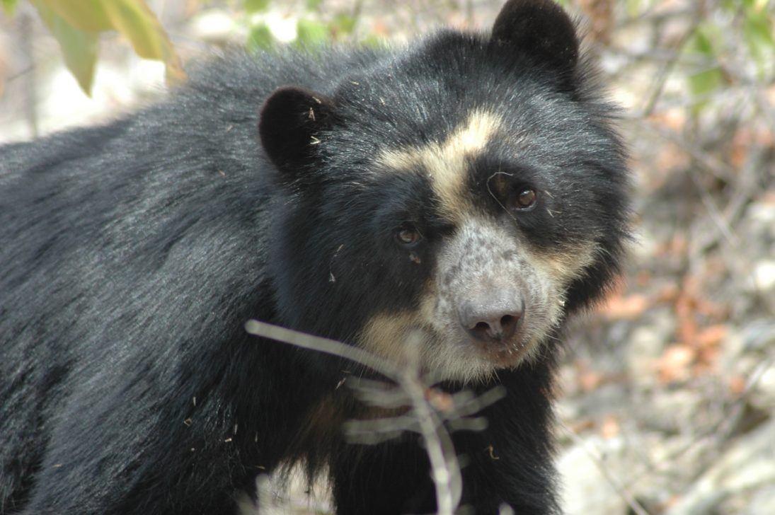 Photo Sbcperu- Wild female spectacled bear (laura) - Dry Forest Peru