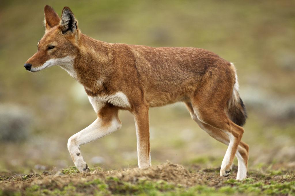 Ethiopian Wolf_credit Rebecca Jackrel_RRJ_EWP157