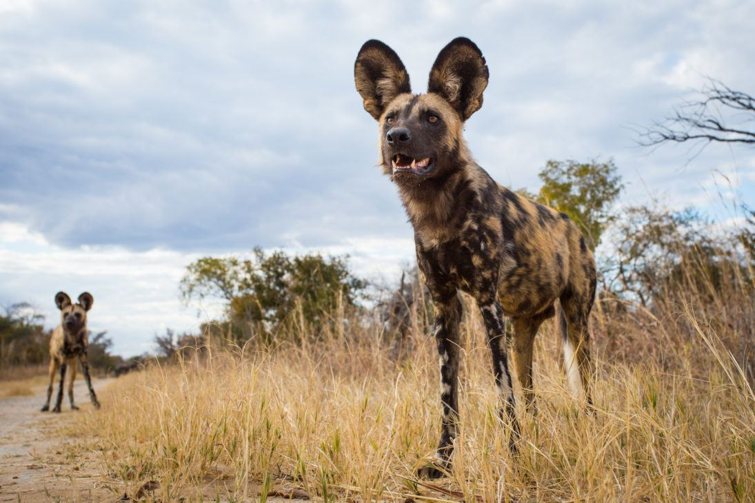 painted dog_Will Burrard