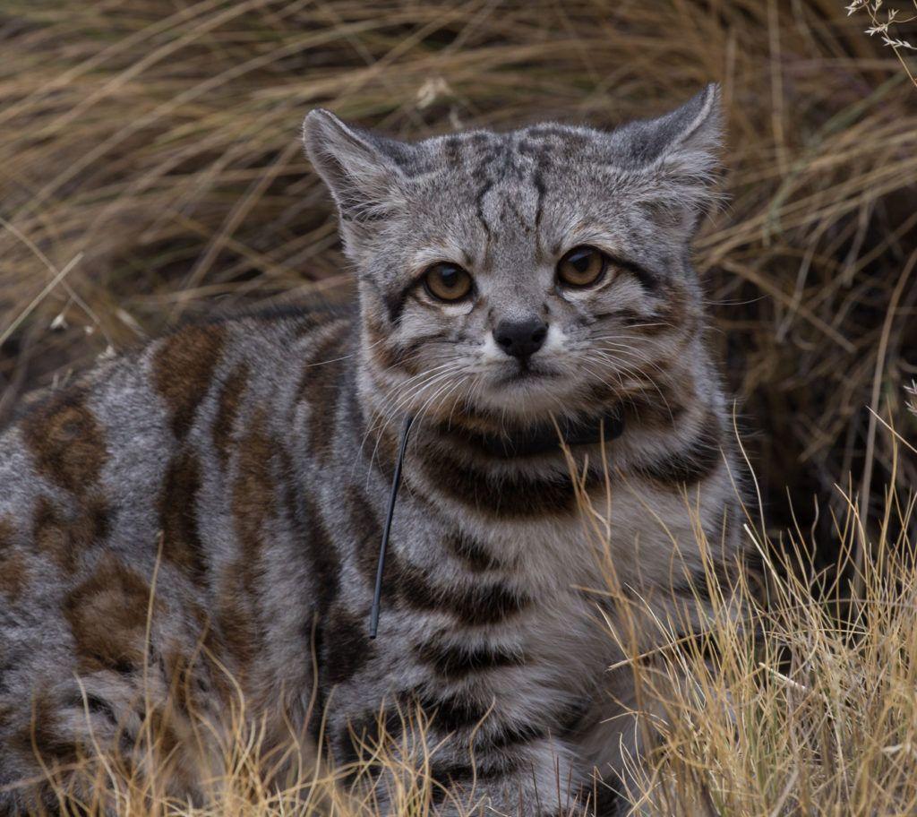 Andean Cat Cropped_Jacobo free Juan Reppucci AGA