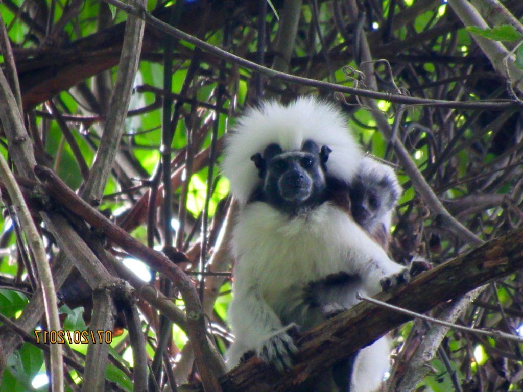 cotton-top tamarin_Francy_Forero